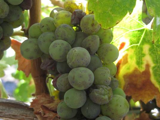 iska_grape